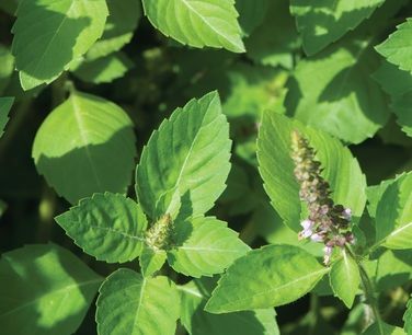 Tulsi for stress
