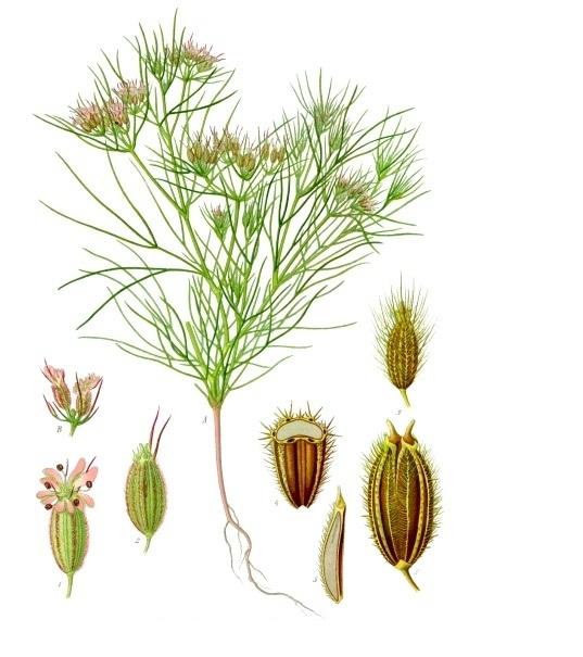 jeera plant
